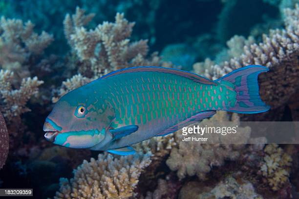 Parrotfish swimming on Great Barrier Reef