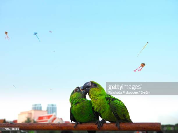Parrots Mating On Stick Against Sky