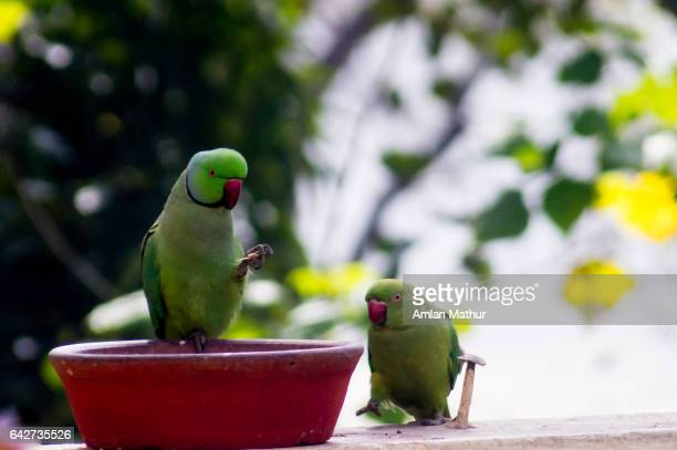 Parrots seated on a dish looking at each other