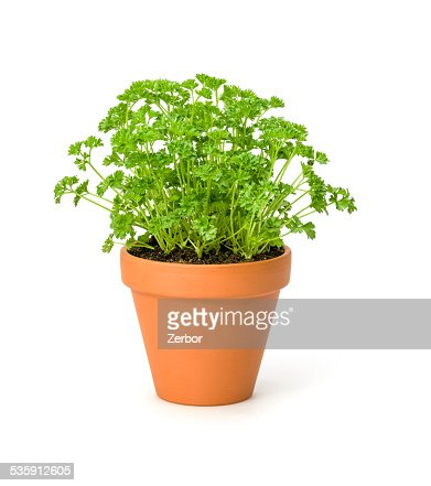 Parsley in a clay pot : Stock Photo