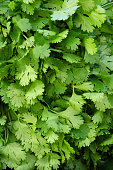Green leaves of the parsley plant