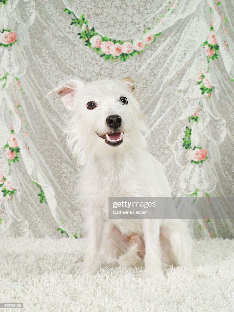 Parson Russell Terrier on wallpaper : Stock Photo