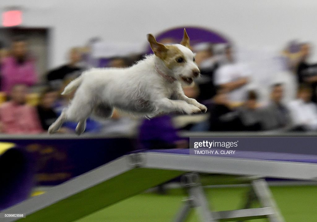 A Parson Russell Terrier runs the agility course during the 3rd Annual Masters Agility Championship on February 13, 2016 in New York, at the 140th Annual Westminster Kennel Club Dog Show. Dogs entered in the agility demonstrate skills required in the challenging obstacles that they will need to negotiate. / AFP / Timothy A. CLARY