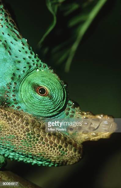 parsons chameleon: calumma parsonii  head shot  madagascar
