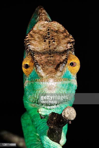 Parsons Chameleon, Calumma parsonii. Parsons chameleon is sedentary and shy. Both eyes point forward when catching prey. It inhabits the cool, forested zone of eastern Madagascar. This magnificent chameleon is the largest of its kind. Eastern Madagascar