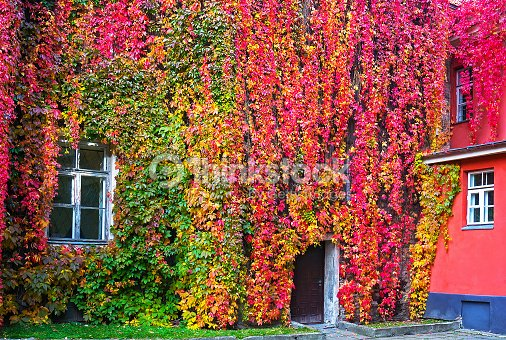 Parthenocissus with red and yellow autumn leaves stock for Jardines venecia