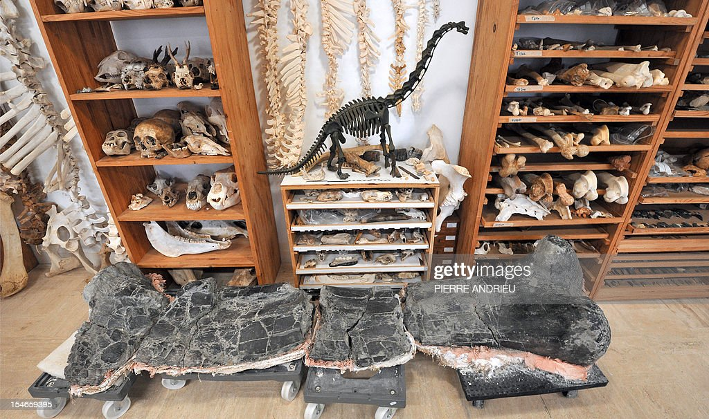 A partial view taken on October 18, 2012 in the paleontology section of the Angouleme museum, southwestern France, shows a model of dinosaur placedamong bones of these animals, found near the central city. Some 400 dinosaur bones have been found on the Angeac-Charente site after workers found the first pieces in 2008 in a quarry. Foreground, the femur of a diplodocus. AFP PHOTO PIERRE ANDRIEU