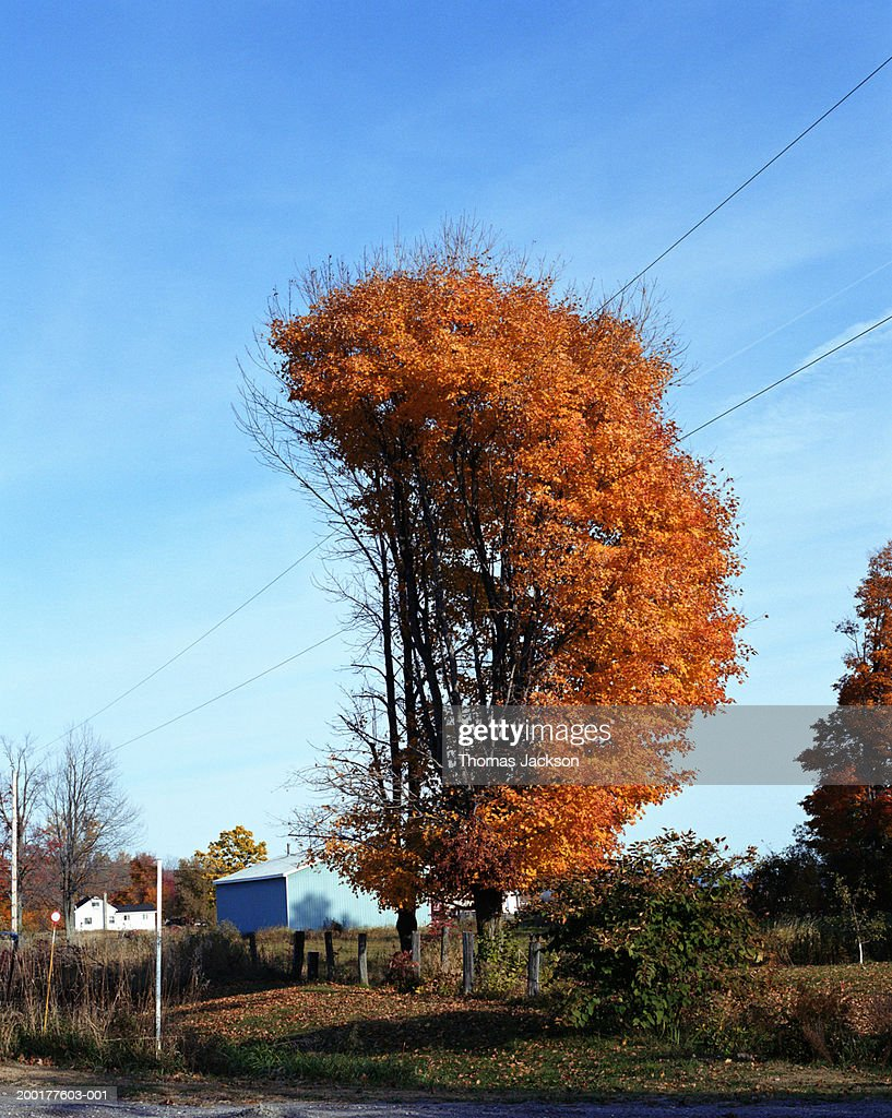 Partially bare tree in autumn