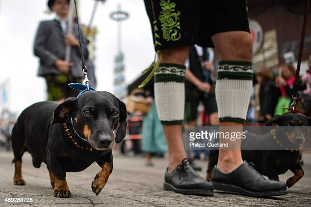 A participant dressed in Bavarian folk outfit and his dachshunds march in the Parade of Costumes and Riflemen on the second day of the 2015...
