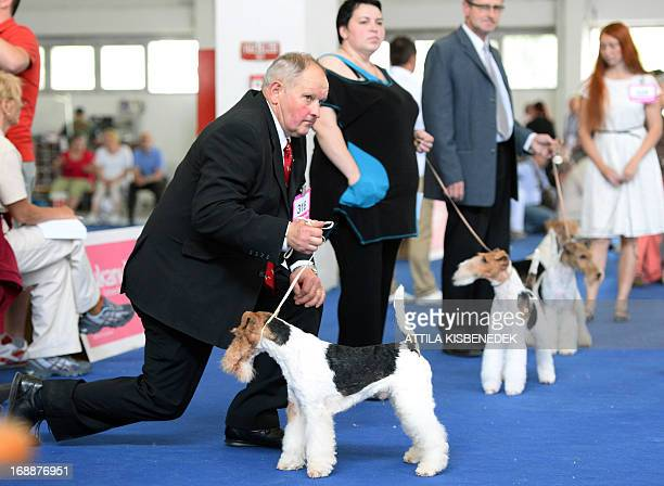 Participant Fox Terrier Smooth dogs and their owners wait for the judge during the Word Dog Show and Exhibition in Hungexpo area of Budapest on May...