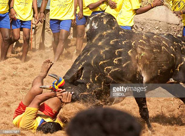 A participant holds back an angry bull during the traditional bull taming festival called 'Jallikattu' in Palamedu near Madurai around 500km south of...