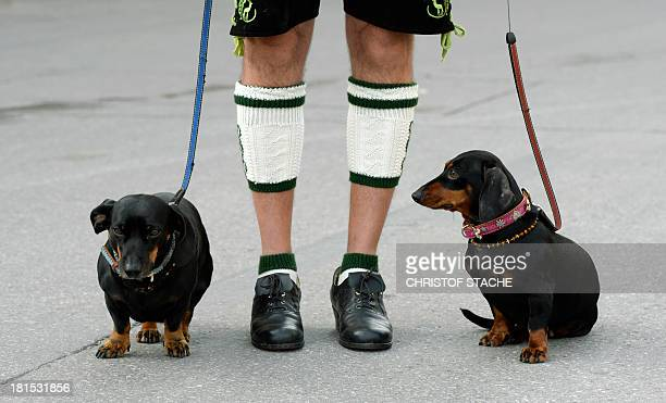 A participant of the traditional costume parade of the Bavarian Oktoberfest beer festival in Munich southern Germany arrives with his two dachshund...