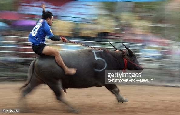A participant practices ahead of the annual buffalo races in Chonburi southeast of Bangkok on October 7 2014 Scores of Thai farmers ditched their...
