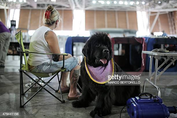 A participant waits with her Newfoundland dog during the International Dog Show competition in Turin on July 4 2015 AFP PHOTO / MARCO BERTORELLO