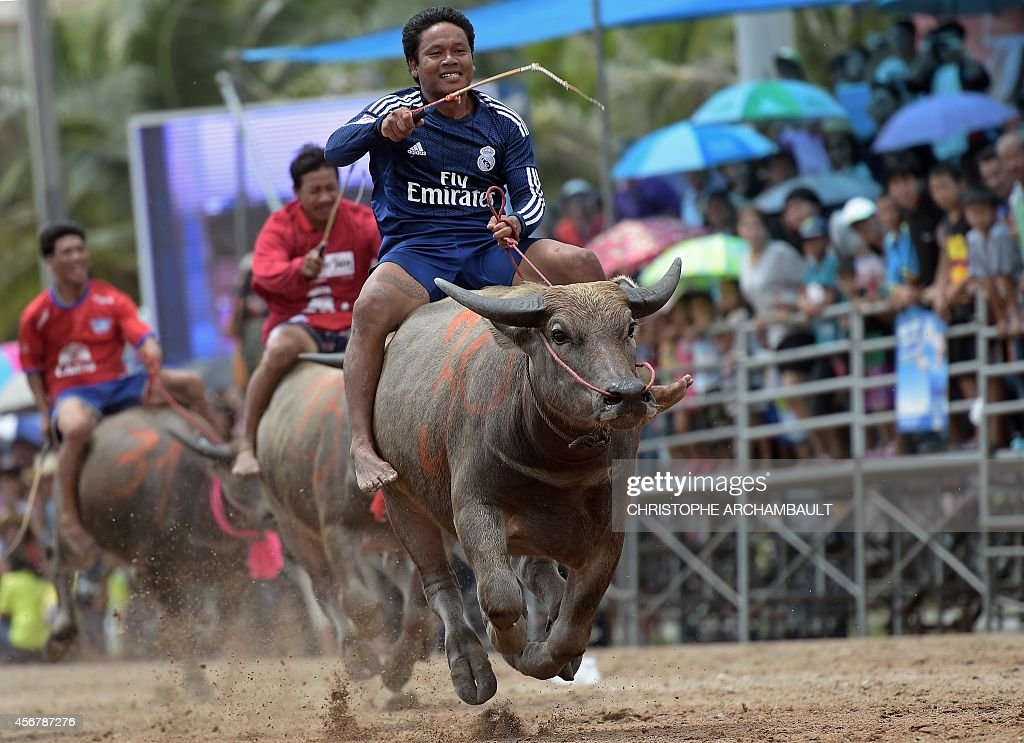 Participants ride buffalos during the annual buffalo races in Chonburi southeast of Bangkok on October 7 2014 Scores of Thai farmers ditched their...