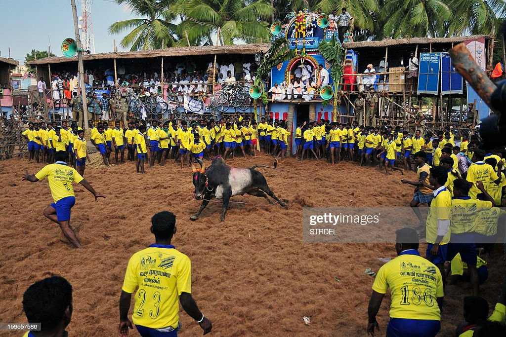 Participants stand and react in a ring during the traditional bull taming festival called 'Jallikattu' in Palamedu near Madurai, around 500km south of Chennai, on January 15, 2013. Jallikattu is a bull taming sport played in Tamil Nadu as part of Pongal celebrations. AFP PHOTO