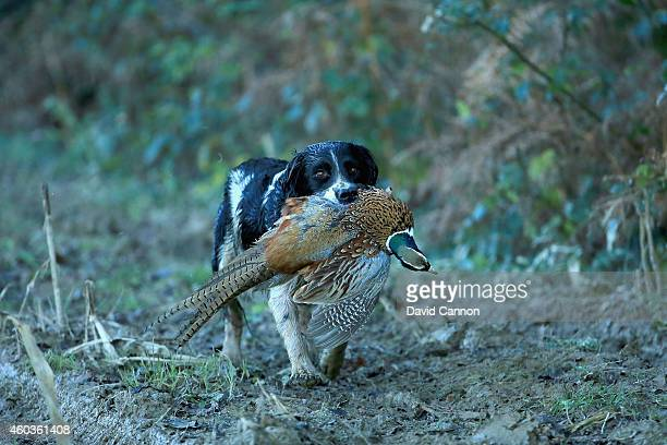 A particpant's gun dog in action during a days Pheasant and Wild Duck shooting at the Cock Up Shoot on December 6 2014 in Ardingly United Kingdom