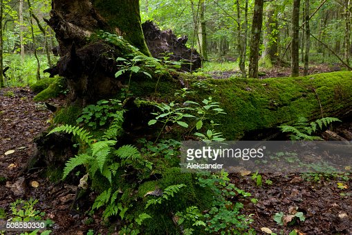 Partly declined dead broken oak : Stock Photo