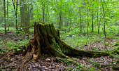 Partly declined stump in front of deciduous trees inside deciduous springtime forest,Bialowieza forest,Poland,Europe