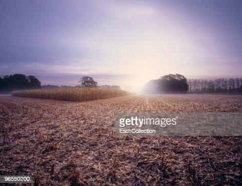 Partly harvested corn field at dawn. : Stock Photo