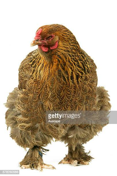 Partridge Brahma bantam Gallus gallus domesticus a featherfooted breed hen