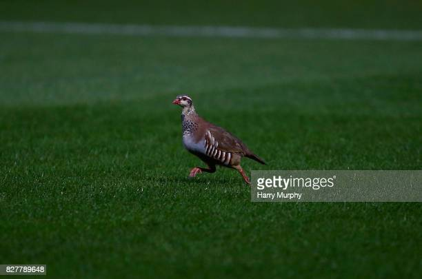 A partridge strolls on the pitch during the Carabao Cup First Round match between Wycombe Wanderers and Fulham at Adams Park on August 8 2017 in High...