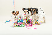Three cute cheeky party dog. Jack Russell dogs ready for carnival Party Dogs - Jack Russell Terrier - cute cute dogs that do not miss any event, like New Year's Eve, Carnival