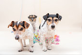 Three cute cheeky party dog. Jack Russell dogs ready for carnival Three cute cheeky party dog. Jack Russell dogs ready for carnival Party Dogs - Jack Russell Terrier - cute cute dogs that do not miss