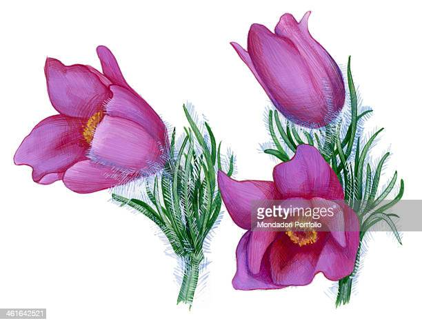 Pasque flower by Giglioli E 20th Century ink and watercolour on paper Whole artwork view Drawing of the flower of pasque flower