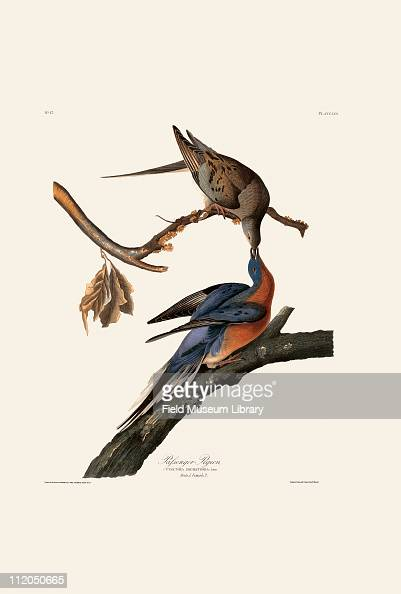 Passenger Pigeon Plate 62 from John James Audubon's Birds of America late 1830s