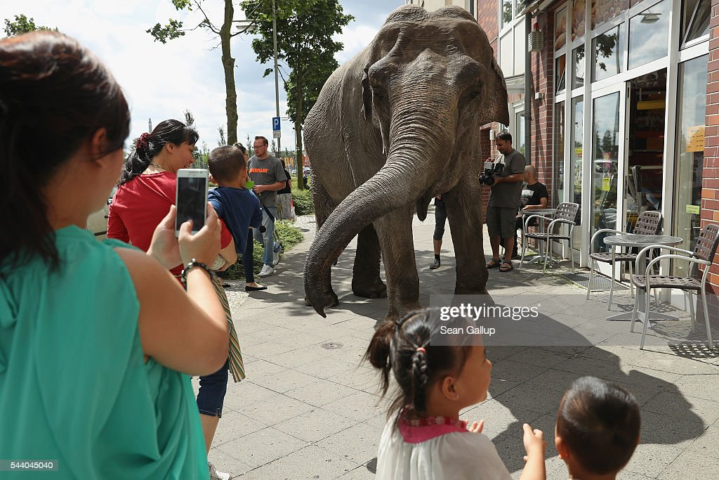 Passersby admire Maja, a 40-year-old elephant, outside a bakery as Maja took a stroll through the neighborhood with her minders from a nearby circus on July 1, 2016 in Berlin, Germany. Maja performs daily at Circus Busch and circus workers take her on walks among the nearby apartment buildings to vacant lots where she likes to eat the grass. City authorities sanction the outings and federal regulations reportedly encourage activities for elephants to stimulate the animals' cognitive awareness.