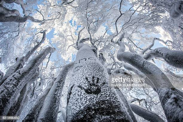 Passersby have cast their hand on a frosted tree trunk on January 16 2017 on the Großer Feldberg in the mountainous Taunus area near Schmitten...