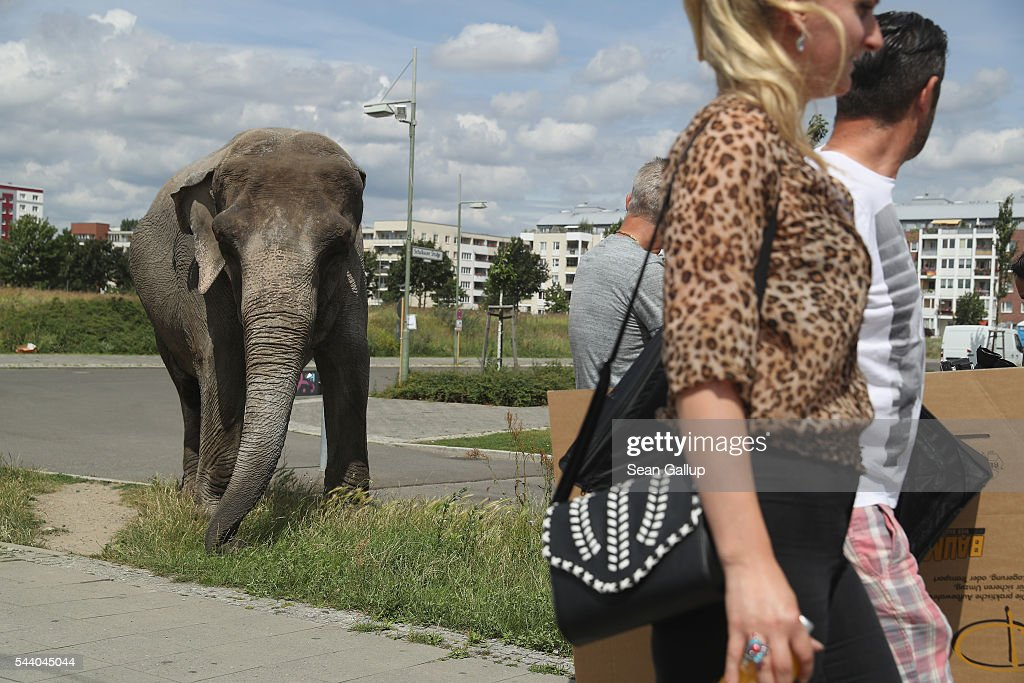 Passersby walk past Maja, a 40-year-old elephant, as Maja took a stroll through the neighborhood with her minders from a nearby circus on July 1, 2016 in Berlin, Germany. Maja performs daily at Circus Busch and circus workers take her on walks among the nearby apartment buildings to vacant lots where she likes to eat the grass. City authorities sanction the outings and federal regulations reportedly encourage activities for elephants to stimulate the animals' cognitive awareness.