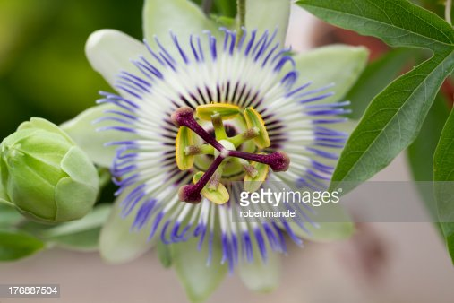 Passiflora Caerulea : Stock Photo