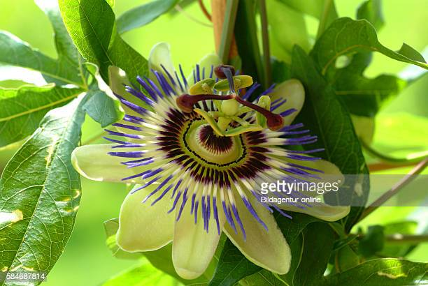 Passiflora incarnata commonly known as maypop purple passionflower true passionflower wild apricot and wild passion vine Medicinal plant