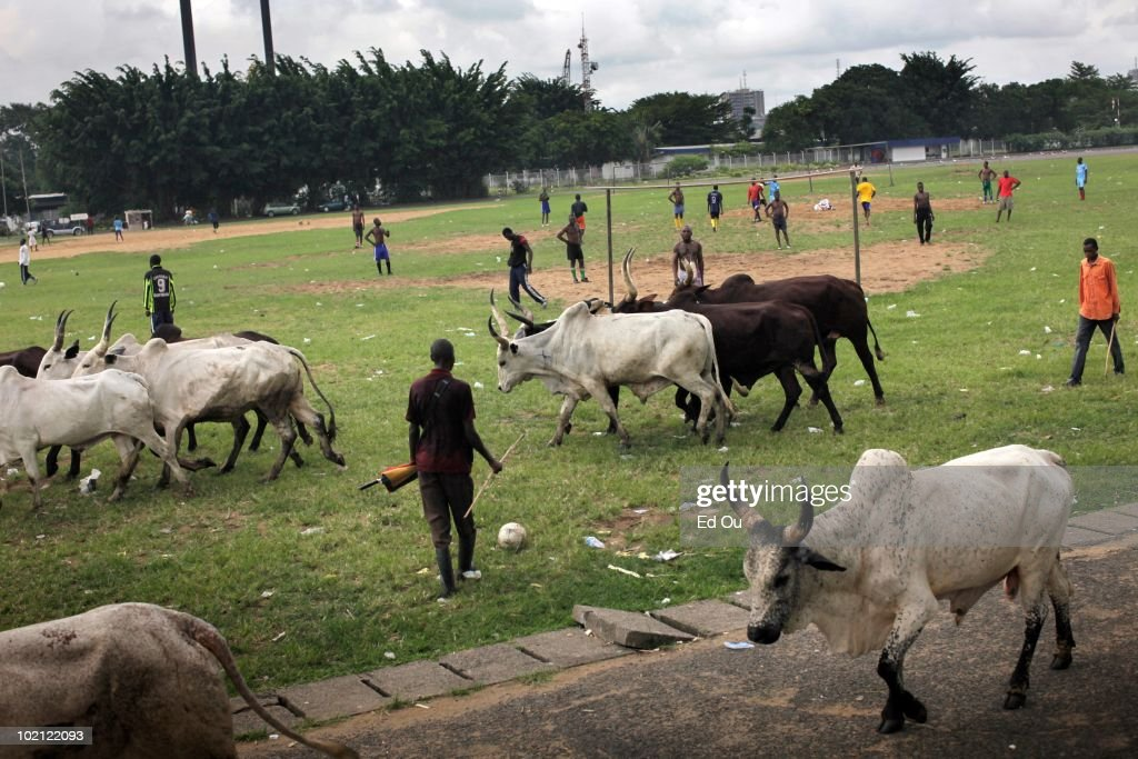 Passing cattle interrupts a soccer game in progress in a field, May 23, 2010 in Douala, Cameroon.