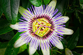 Close up of a Passion Flower, Passiflora, growing amongst dark foliage.