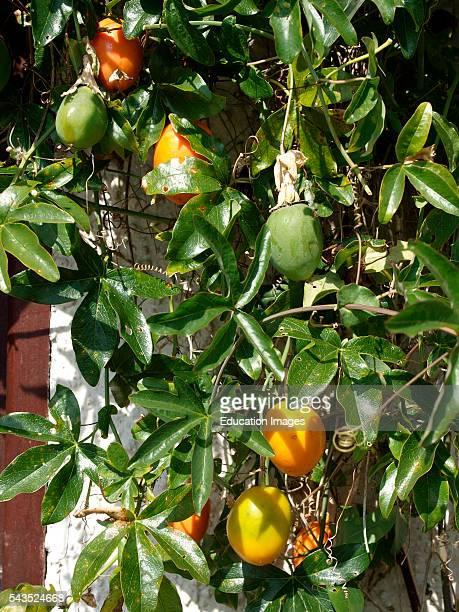 Passion Flower fruit Passiflora Caerula UK