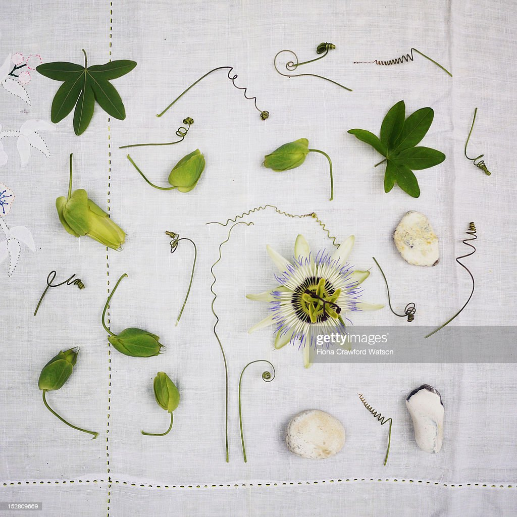 passion flower, tendrils and leaves : Stock Photo