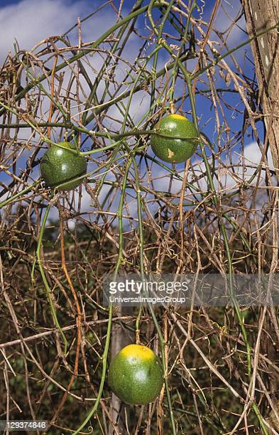 Passion Fruit Brazil Amazon Abandoned Cattle Ranch Land Is Usually Left Unused In Some Places Peasant Farmers Have Settled And Successfully Grown...