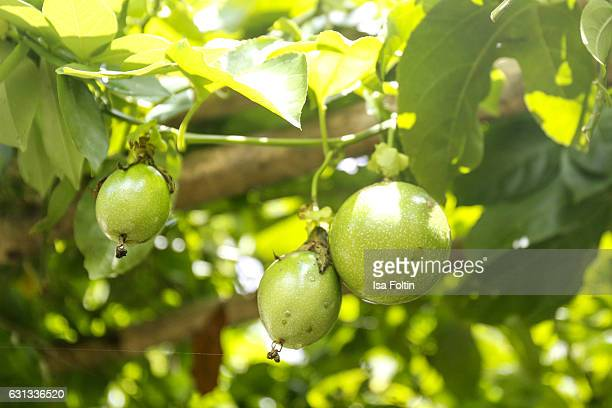 TEGALLALANG BALI INDONESIA JANUARY 03 A passion fruit tree inside the Pulina Coffee Plantation on January 03 2016 in Tegallalang Bali Indonesia
