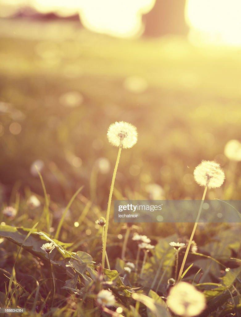 pastel colored dandelions
