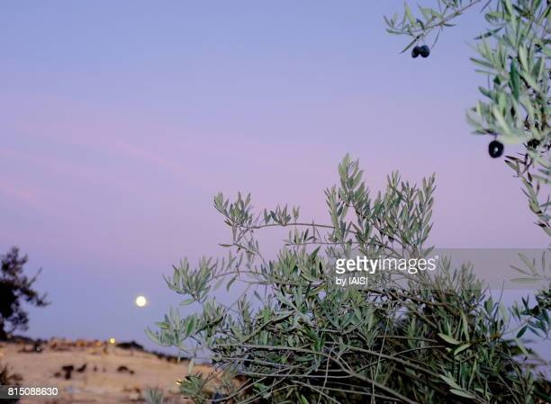 Pastels, Jerusalem, a full moon on the Mount of Olives and olive tree