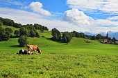 Pastorale in Provence, France. Green meadow with lush grass and grazing cows