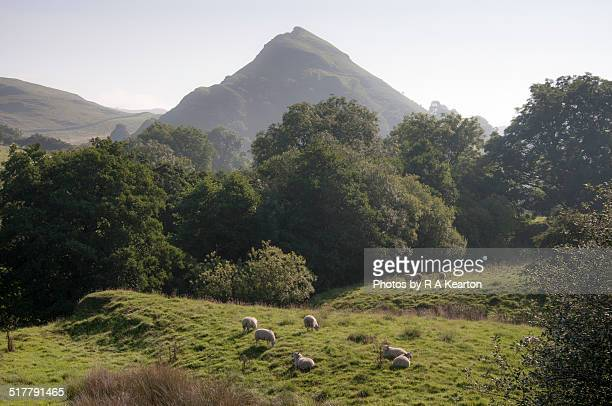 Pastoral scene, sheep grazing on a hazy morning