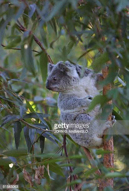 'Pat' a 15yearold Koala bear climbs up a eucalyptus tree in her outdoor quarters at the San Francisco Zoo 28 December 2000 'Pat' and her daughter...