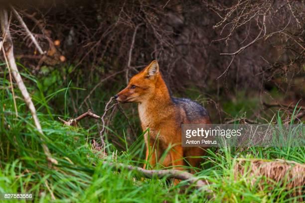 Patagonia fox, Torres del Paine, Chile