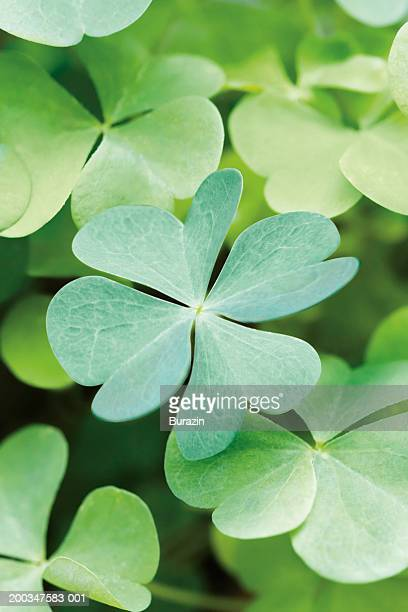 Patch of four-leaf clovers, close-up
