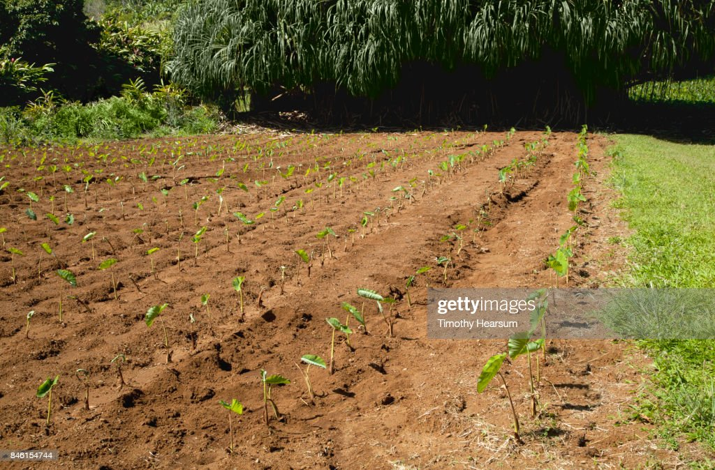 Patch of taro plants with hala trees beyond : Stock Photo