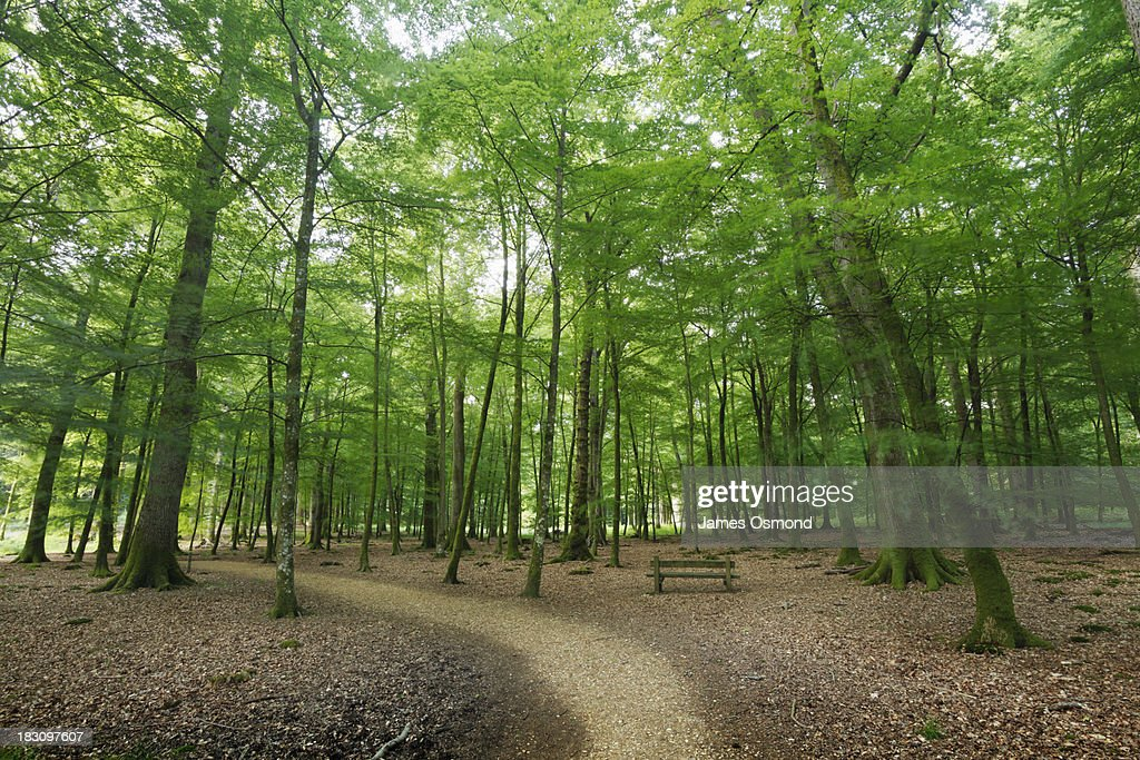 Path and Bench in Beech Woodland in Spring : Stock Photo